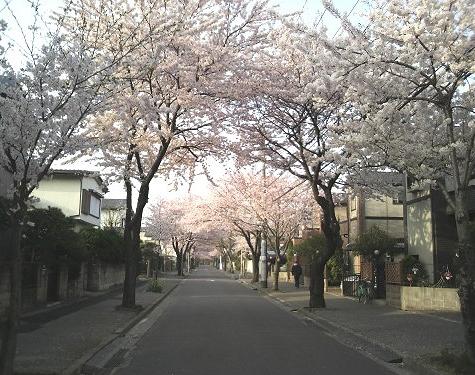 10411sakura.jpg