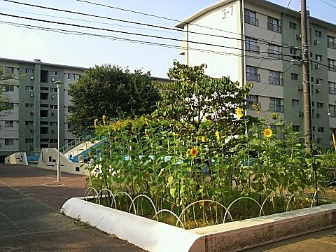 110816himawari.jpg