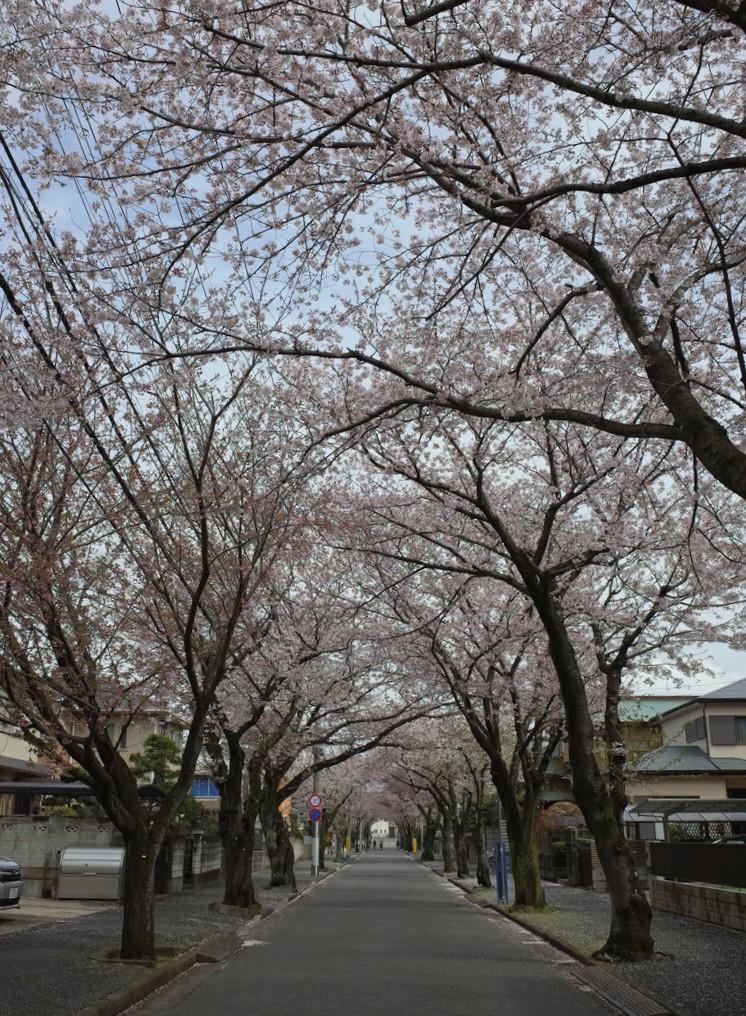 習志野台2丁目桜並木