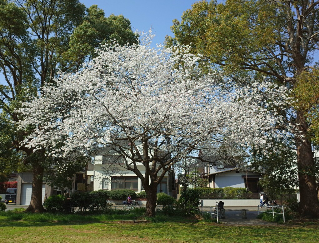 かっぱ公園の桜