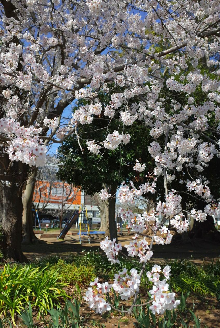 習志野台1号公園の桜